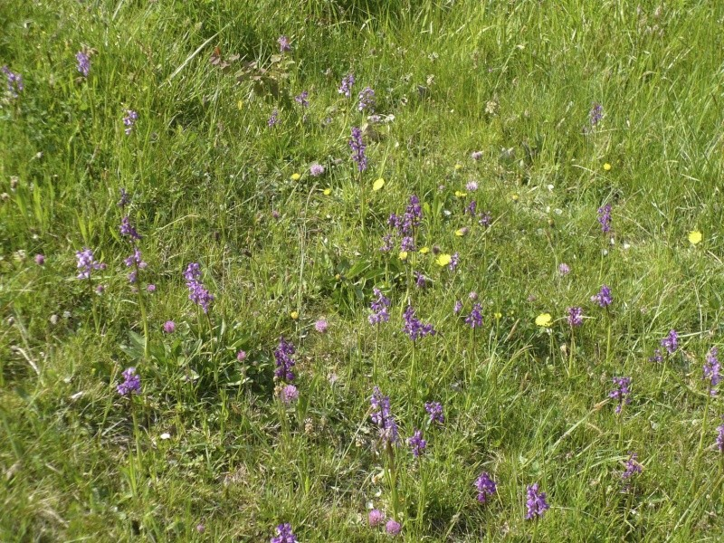 Champ d'orchidées dans le Tarn P1300412