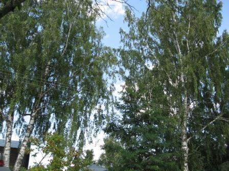 Администрация отказывается спиливать старые деревья Downlo25