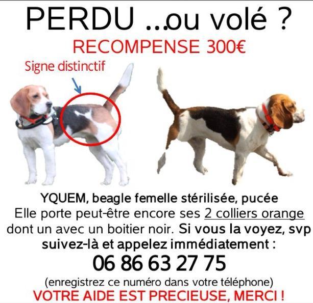 Beagle perdue en Alsace (Lingolsheim/Eckbolsheim) mardi 7 janvier 2014 16559010