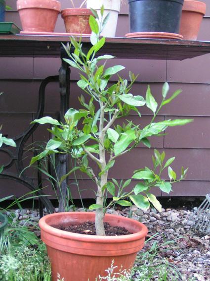 Lemon Tree, seedling  Zitron10