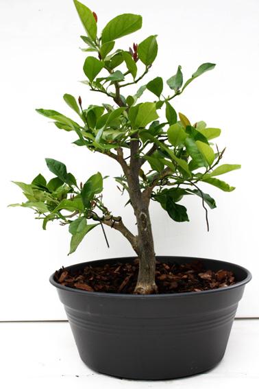 Lemon Tree, seedling  Zitron11