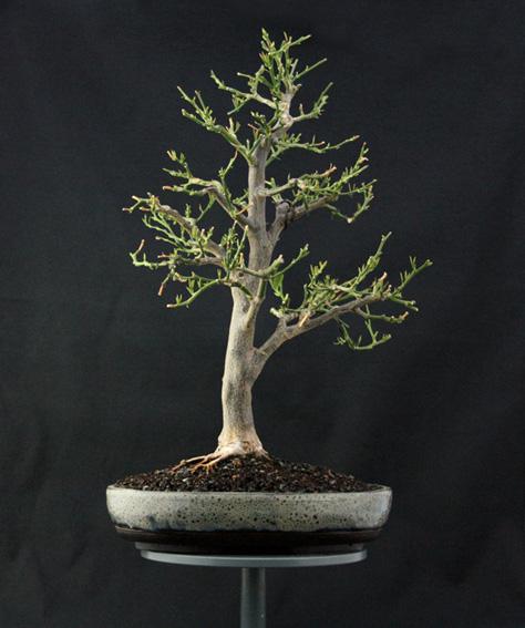 Lemon Tree, seedling  Zitron16