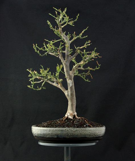 Lemon Tree, seedling  Zitron17