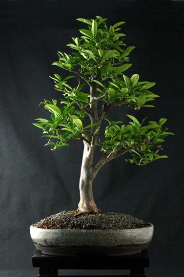 Lemon Tree, seedling  Zitron18
