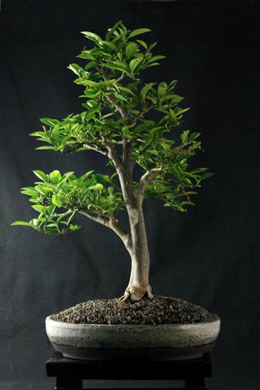 Lemon Tree, seedling  Zitron19