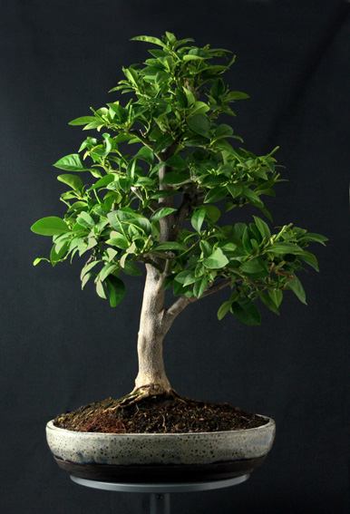 Lemon Tree, seedling  Zitron20