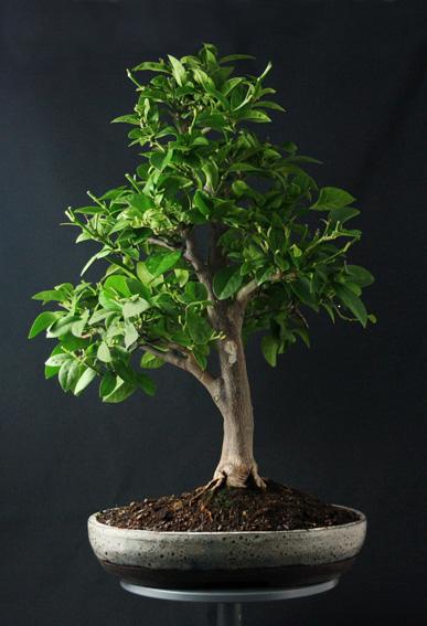 Lemon Tree, seedling  Zitron21