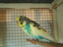 Quelles mutations pour mes 3 nouveaux oiseaux? Pict0410