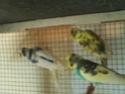 Quelles mutations pour mes 3 nouveaux oiseaux? Pict0416