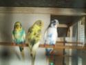 Quelles mutations pour mes 3 nouveaux oiseaux? Pict0417
