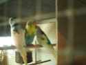 Quelles mutations pour mes 3 nouveaux oiseaux? Pict0418