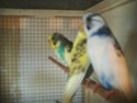 Quelles mutations pour mes 3 nouveaux oiseaux? Pict0419