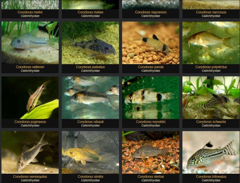 Fishipédia, encyclopédie d'aquariophilie par l'image - Page 4 A_cory10