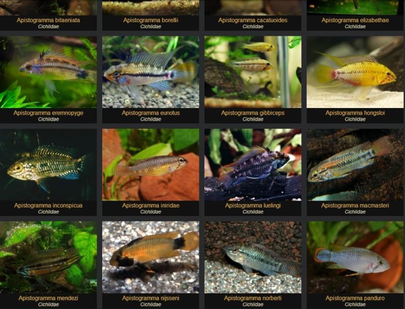 Fishipédia, encyclopédie d'aquariophilie par l'image - Page 4 Apisto10
