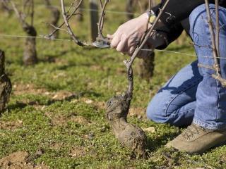 1ère manche du Challenge inter-châteaux des tailleurs de vigne médocain  Taille10