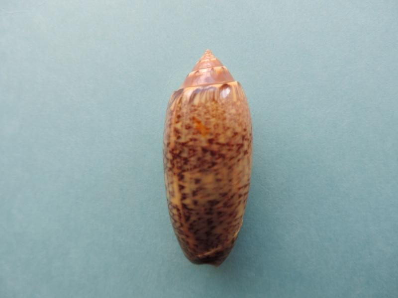 Americoliva bollingi goajira (Petuch & Sargent, 1986) - Worms = OLiva nivosa bollingi (Clench, 1934) Dscn0017