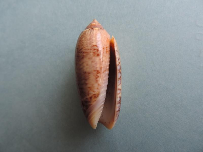 Americoliva bollingi goajira (Petuch & Sargent, 1986) - Worms = OLiva nivosa bollingi (Clench, 1934) Dscn0018
