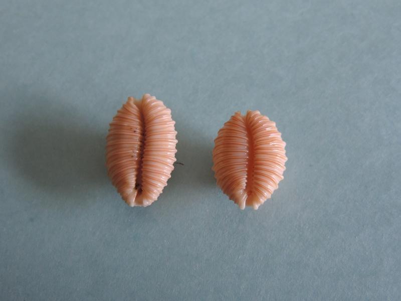 Nucleolaria granulata - (Pease, 1862) Dscn0113