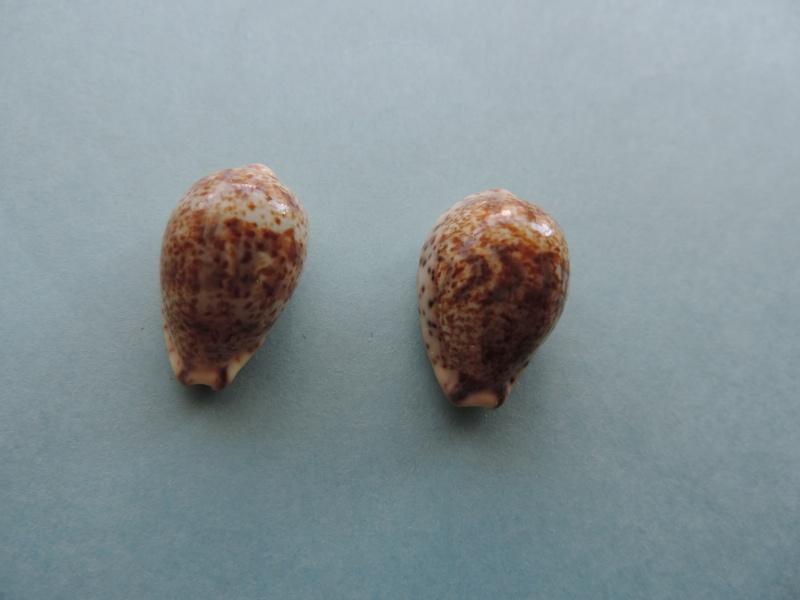 Palmadusta lentiginosa - (J.E. Gray, 1825) Dscn0114