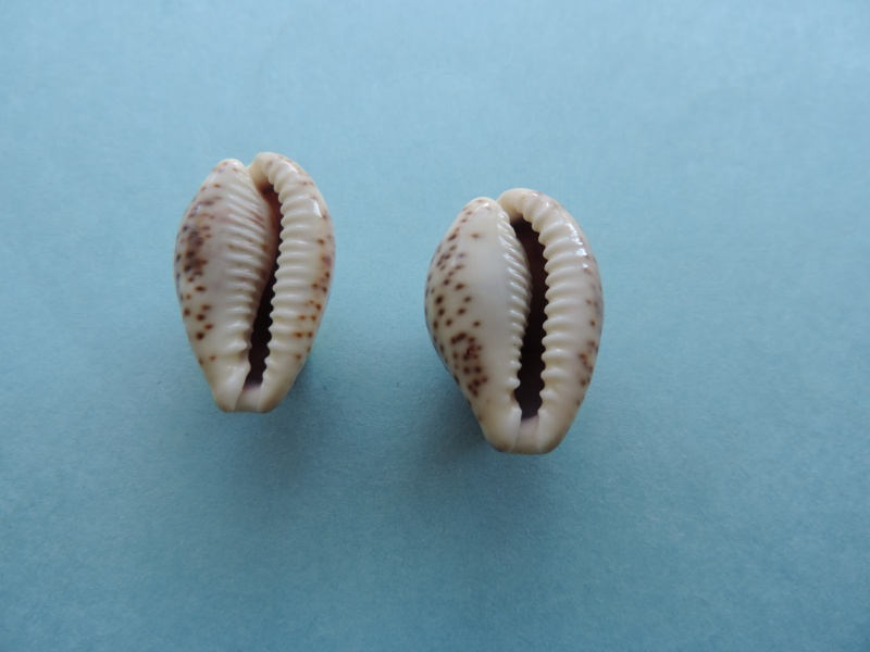 Palmadusta lentiginosa - (J.E. Gray, 1825) Dscn0115