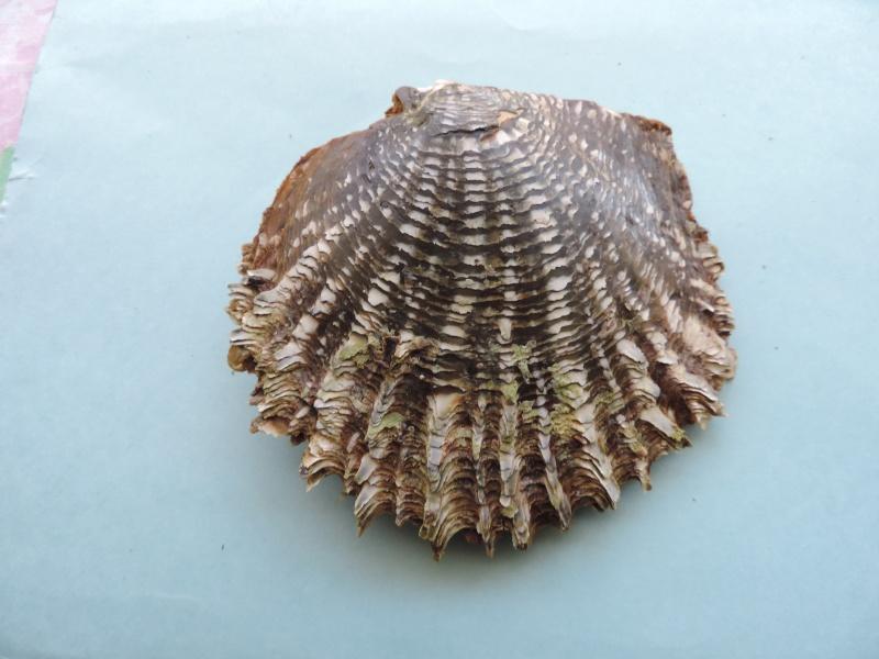 Pinctada margaritifera - (Linnaeus, 1758) Dscn0117