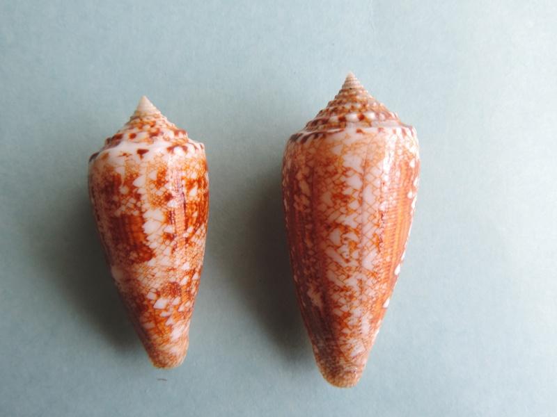 Conus (Cylinder) telatus   Reeve, 1848 Dscn0130