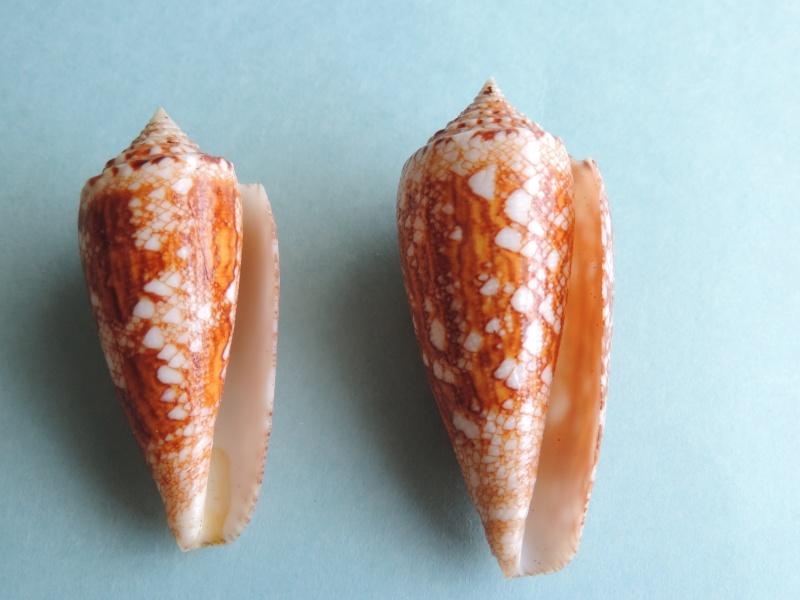Conus (Cylinder) telatus   Reeve, 1848 Dscn0131