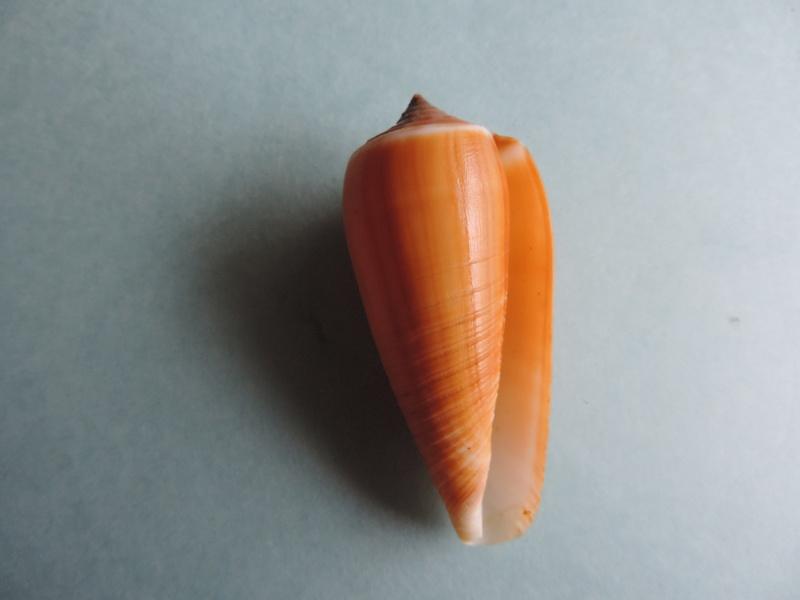 Conus (Phasmoconus) radiatus   Gmelin, 1791 Dscn0217
