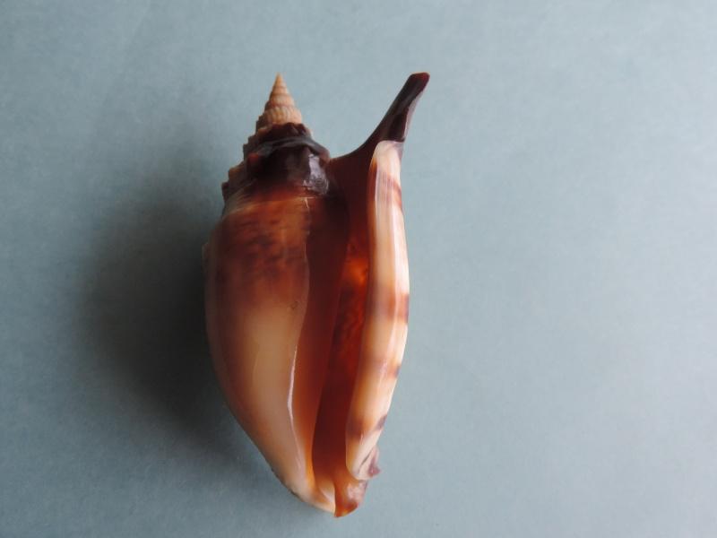Euprotomus aratrum - (Röding, 1798) Dscn0222