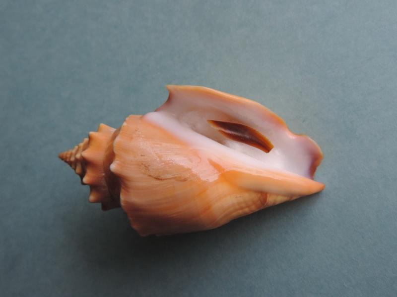 Strombus gracilior - G.B. Sowerby I, 1825 Dscn0226