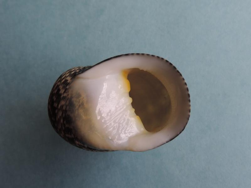 Nerita maxima - Gmelin, 1791 Dscn0258