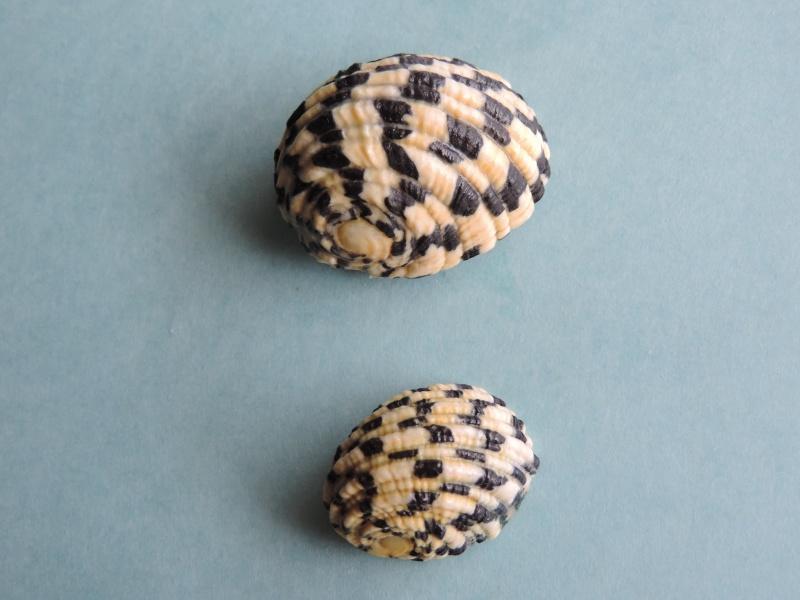 Nerita textilis - Gmelin, 1791 Dscn0259