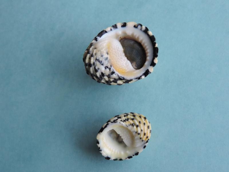 Nerita textilis - Gmelin, 1791 Dscn0260