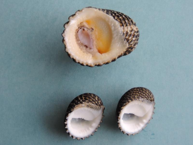 Nerita exuvia - Linnaeus, 1758 Dscn0262