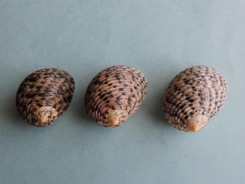 Nerita undata - Linnaeus, 1758 Dscn0263