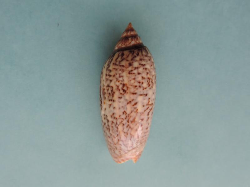 Americoliva spicata deynzerae (Petuch & Sargent, 1986) Dscn0314