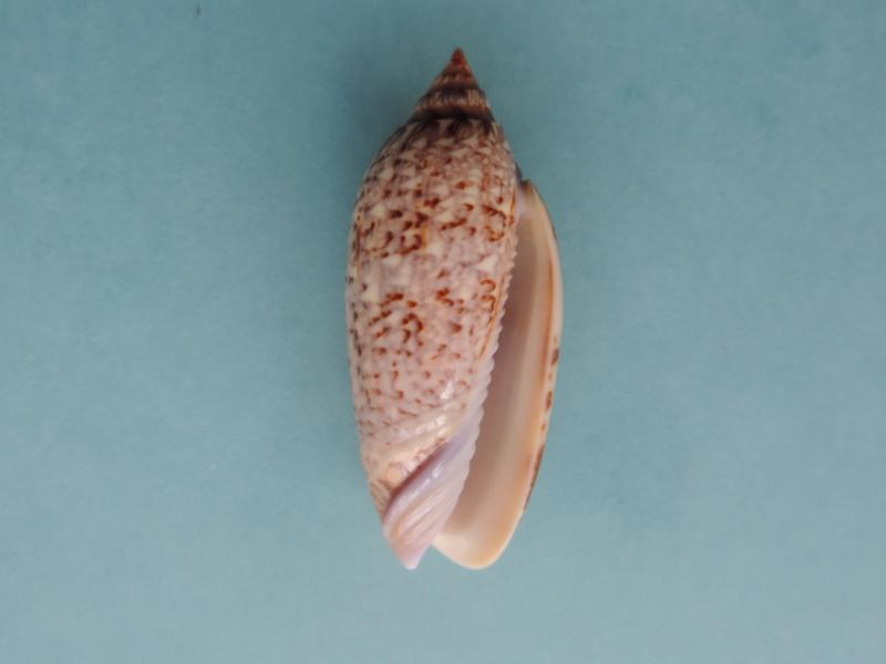Americoliva spicata deynzerae (Petuch & Sargent, 1986) Dscn0315