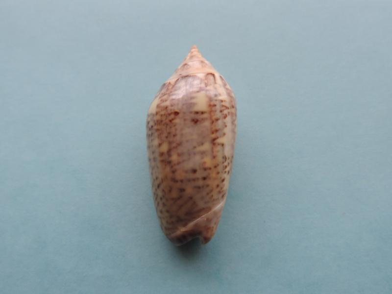 Americoliva spicata melchersi (Menke, 1851)  - Worms = Oliva spicata (Röding, 1798) Dscn0316