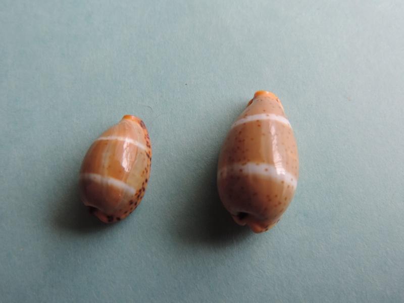 Palmadusta lutea - (Gmelin, 1791) Dscn0320