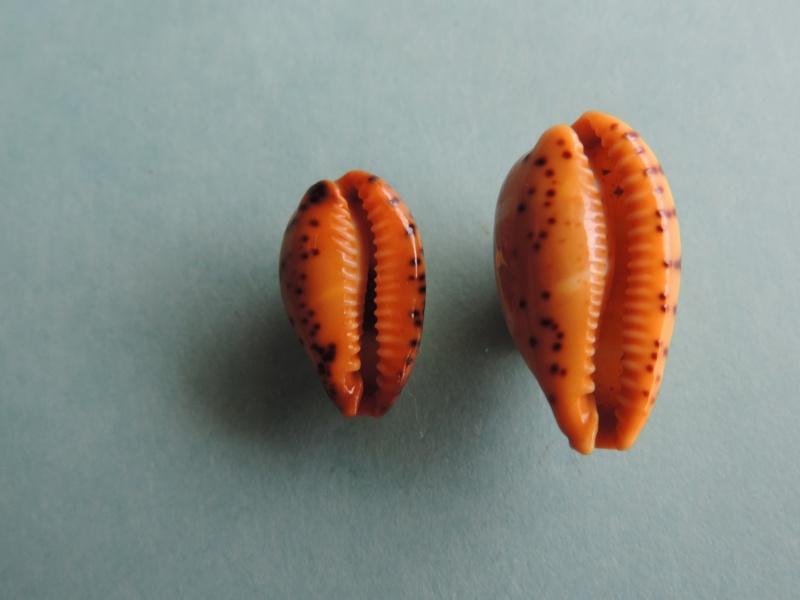 Palmadusta lutea - (Gmelin, 1791) Dscn0321