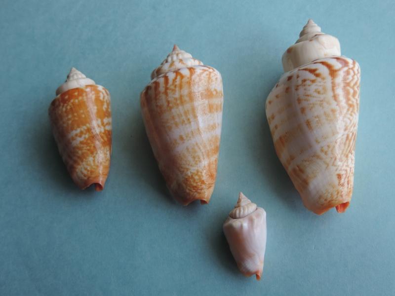 Conomurex luhuanus - (Linnaeus, 1758) Dscn0337