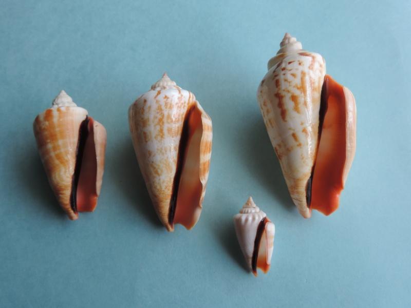 Conomurex luhuanus - (Linnaeus, 1758) Dscn0338