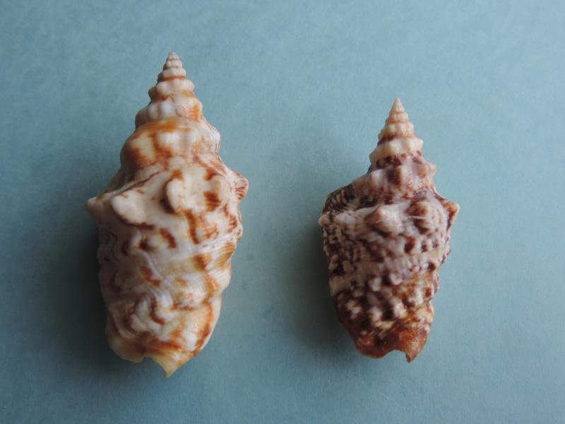 Strombidae Persististrombus granulatus - (Swainson, 1822) Dscn0345