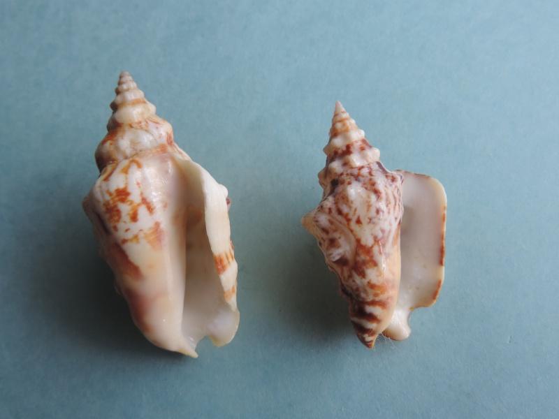 Strombidae Persististrombus granulatus - (Swainson, 1822) Dscn0346