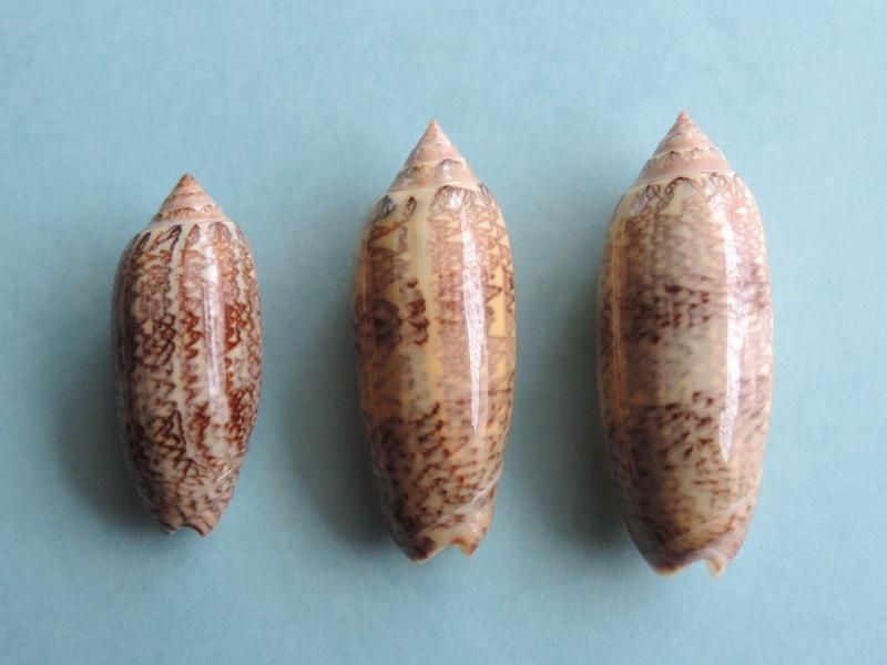Americoliva circinata circinata (Marrat, 1871) Dscn0359