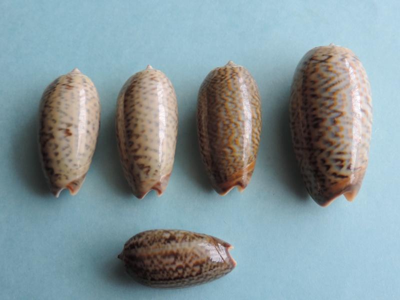 Viduoliva elegans (Lamarck, 1811) Dscn0363