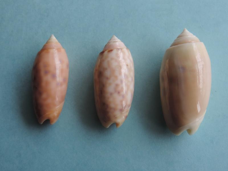 Annulatoliva annulata nebulosa (Dautzenberg, 1927) voir Annulatoliva annulata (Röding, 1798) Dscn0367