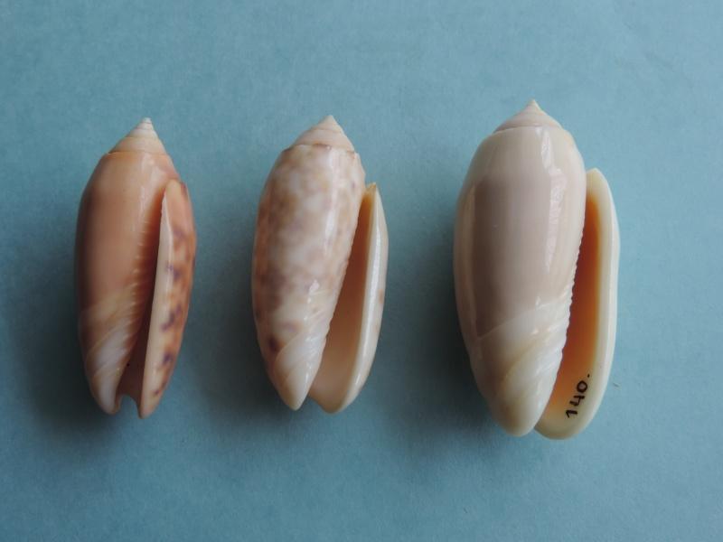 Annulatoliva annulata nebulosa (Dautzenberg, 1927) voir Annulatoliva annulata (Röding, 1798) Dscn0368