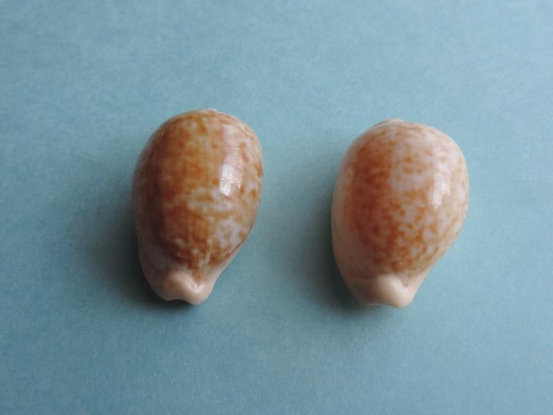 Cypraeovula fuscorubra fuscorubra - (Shaw, 1909) Dscn0418