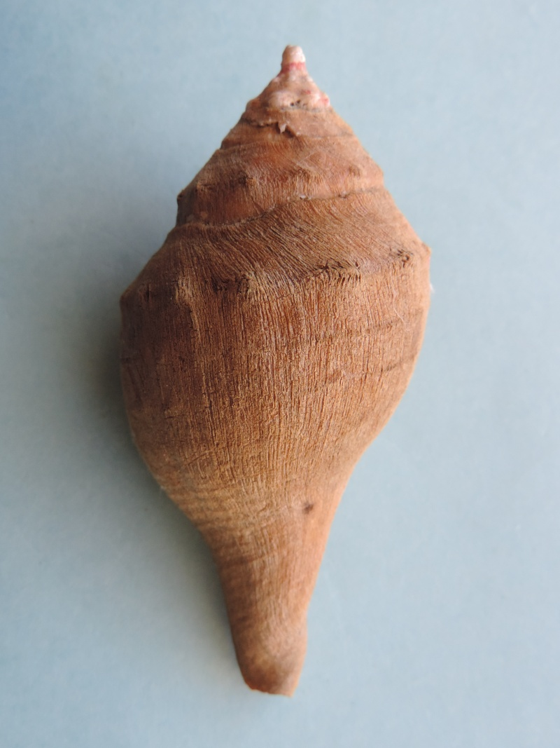Turbinella pyrum - (Linnaeus, 1767) Dscn0422